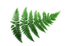 Grünes Farnblatt getrennt auf weißem Hintergrund Lizenzfreie Stockbilder
