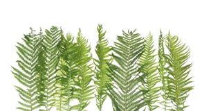 Grünes Farnblatt getrennt auf weißem Hintergrund lizenzfreie stockfotos