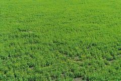 Grünes Feld. Lizenzfreies Stockbild