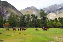 Grünes Feld, Berge und Pferde Lizenzfreie Stockbilder