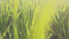 Grünes Feld des jungen Weizens Junger Weizen pflanzt stedikam Schießen Hintergrund stock video footage