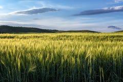 Grünes Feld des Roggens Blauer Himmel mit Kumuluswolken Sommerzeitlandschaft Selektiver Fokus Konzeptlandwirtschaftskultur Stockfoto