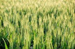 Grünes Feld des unausgereiften Weizens Stockbild