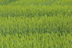 Grünes Feld des Weizens Stockfotos