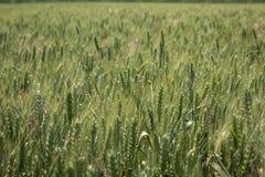Grünes Feld des Weizens Lizenzfreie Stockbilder
