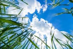 Grünes Feld des Weizens lizenzfreie stockfotos