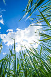 Grünes Feld des Weizens lizenzfreie stockfotografie