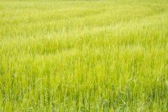 Grünes Feld des Weizens Stockfotografie