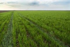 Grünes Feld des Weizens reifend über blauem Himmel Lizenzfreie Stockfotos