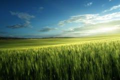 Grünes Feld des Weizens in Toskana Stockbilder