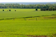 Grünes Feld des Weizens und des Frühlinges Stockfotografie