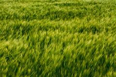 Grünes Feld des Zusammenfassungsgetreides blured Spitzen lizenzfreie stockbilder