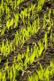 Grünes Feld, junges Weizenwachsen Stockbild