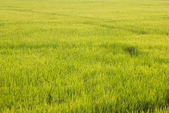 Grünes Feld am Land stockfotografie