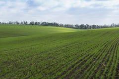 Grünes Feld, Landwirtschaftstriebe des Weizens, Gerste Lizenzfreie Stockfotos
