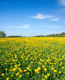 Grünes Feld mit Blumen unter blauem bewölktem Himmel lizenzfreie stockfotos
