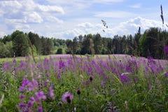 Grünes Feld mit hellen purpurroten Sallyblütenblumen lizenzfreie stockfotografie