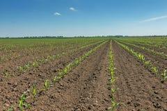 Grünes Feld mit jungem Mais Reihen-Grünkern-Feld lizenzfreies stockfoto