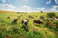Grünes Feld mit Kühen Lizenzfreies Stockfoto