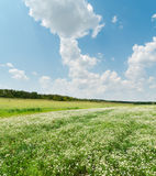 grünes Feld mit Kamille unter Wolken Stockfoto