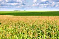 Grünes Feld mit Mais Lizenzfreie Stockfotografie
