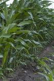 Grünes Feld mit Mais Stockbild