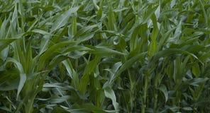 Grünes Feld mit Mais Stockfoto