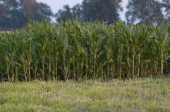 Grünes Feld mit Mais Lizenzfreie Stockfotos