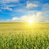 Grünes Feld mit Mais Geben zum Blau Sonnenaufgang auf dem Horizont Stockbild