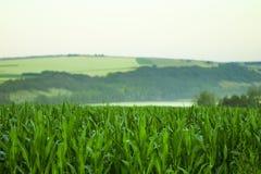 Grünes Feld mit Mais Geben zum Blau Sonnenaufgang auf dem Horizont Lizenzfreies Stockfoto
