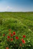 Grünes Feld mit Mohnblumen und dem Himmel im Hintergrund Lizenzfreies Stockbild