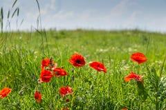 Grünes Feld mit Mohnblumen und dem Himmel im Hintergrund Stockfotos