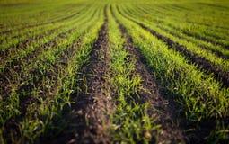 Grünes Feld mit plantlets Lizenzfreie Stockbilder