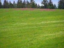 Grünes Feld mit rosa Blumen Stockfotos