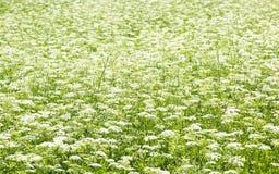 Grünes Feld mit weißen Blumen Stockfotografie