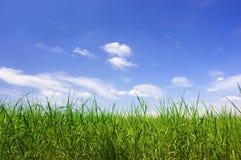 Grünes Feld am Sommer Stockfotografie