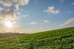 Grünes Feld am Sonnenuntergang Stockfotografie