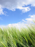 Grünes Feld und blauer Himmel Stockfotos