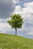 Grünes Feld und einsamer Baum Lizenzfreies Stockbild
