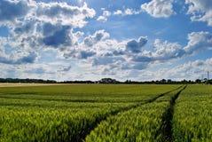 Grünes Feld und Himmel des Weizens Stockfotos