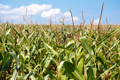 Grünes Feld von wachsendem hohem des Mais Stockfotos