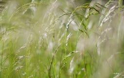 Grünes flaumiges Gras mit Sonnenlicht - verwischen Sie Hintergrund Lizenzfreie Stockbilder