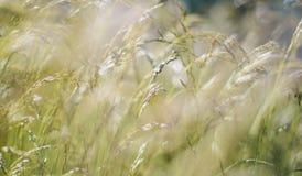 Grünes flaumiges Gras mit Sonnenlicht - verwischen Sie Hintergrund Stockfoto