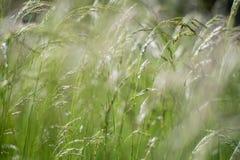 Grünes flaumiges Gras mit Sonnenlicht - verwischen Sie Hintergrund Lizenzfreie Stockfotografie