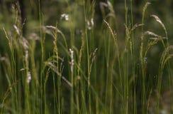 Grünes flaumiges Gras mit Sonnenlicht - verwischen Sie Hintergrund Stockfotografie