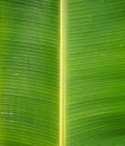 Grünes frisches Bananenblatt nach Regen, Gebrauch für Hintergrund Lizenzfreie Stockfotos