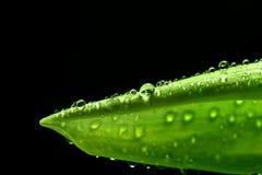 Grünes frisches Blatt mit Wasser fällt auf seine Oberfläche nave Lizenzfreies Stockfoto