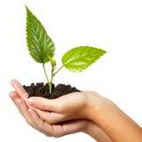 Grünes frisches des Baums in der weiblichen Hand Lizenzfreies Stockbild