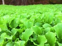 Grünes Gemüse am Biohof Stockfotografie