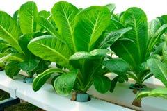Grünes Gemüse der Hydroponik Stockbild